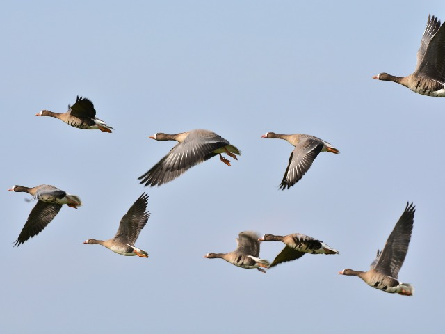 wild-geese-278987_1920
